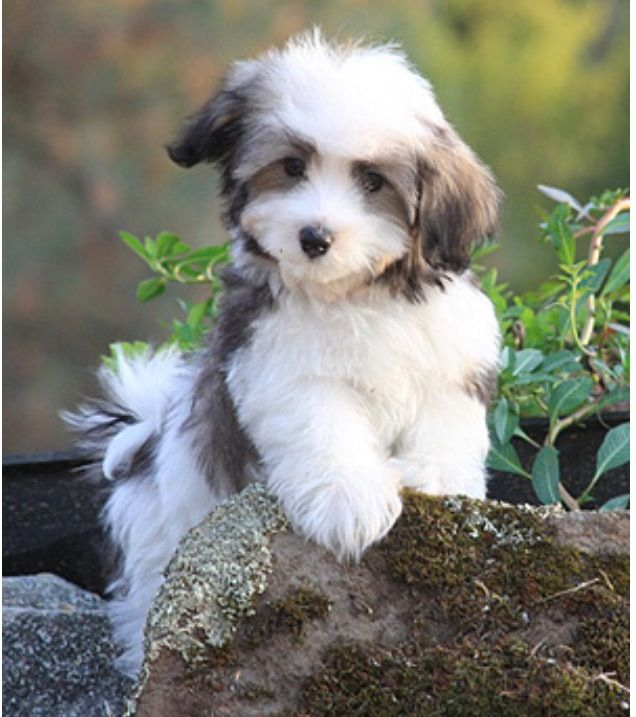 Havanese Puppy Havanese Puppies Hypoallergenic Dog Breed Dog Breeds