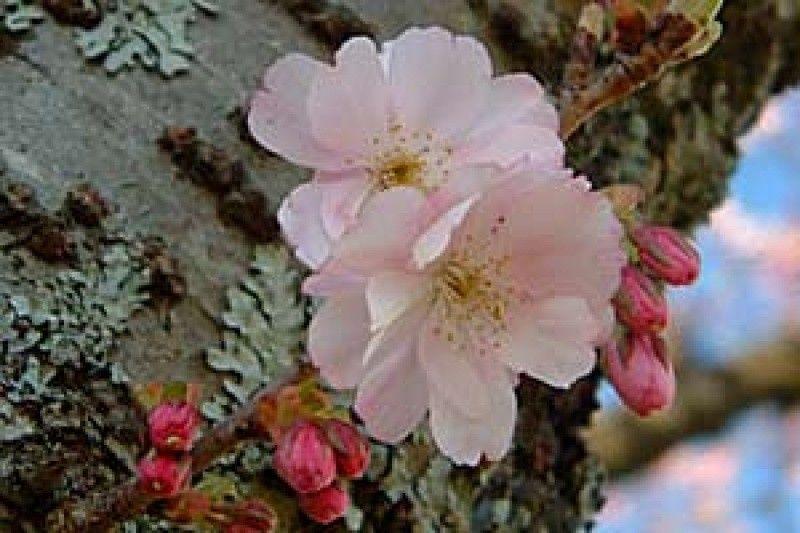 Cherry Accolade Standard Pink Blossom Flowering Cherry Tree Spring Blossom