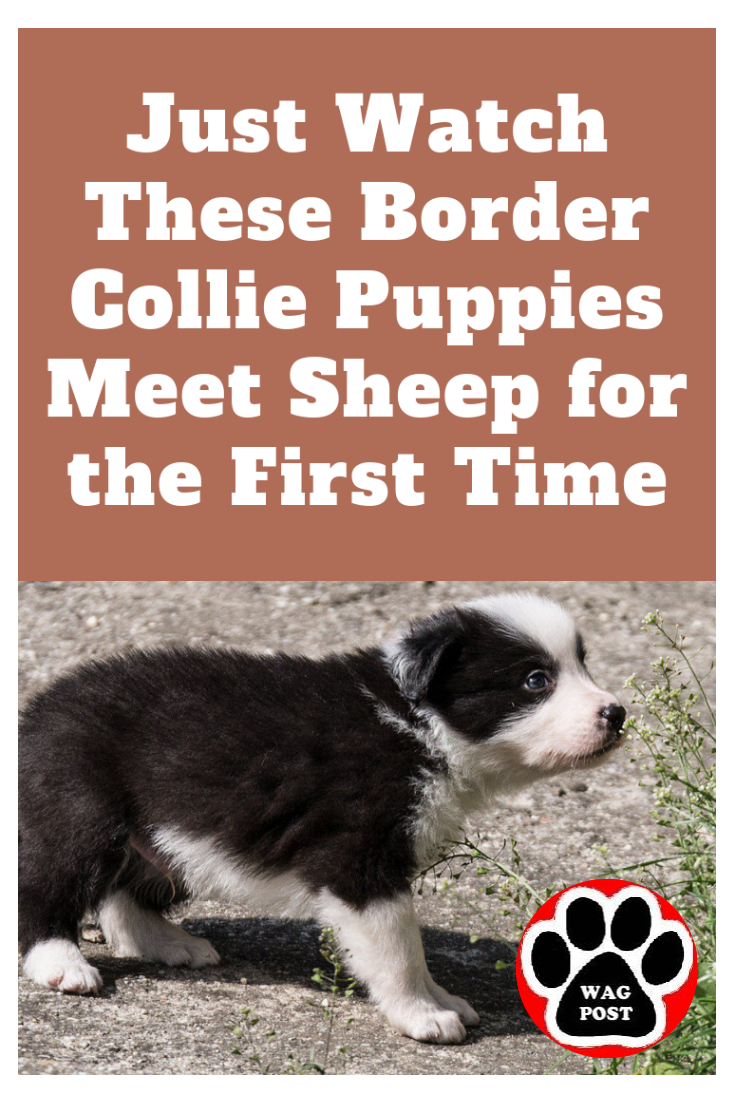 Just Watch These Border Collie Puppies Meet Sheep For The First Time In 2020 Border Collie Puppies Collie Puppies Border Collie