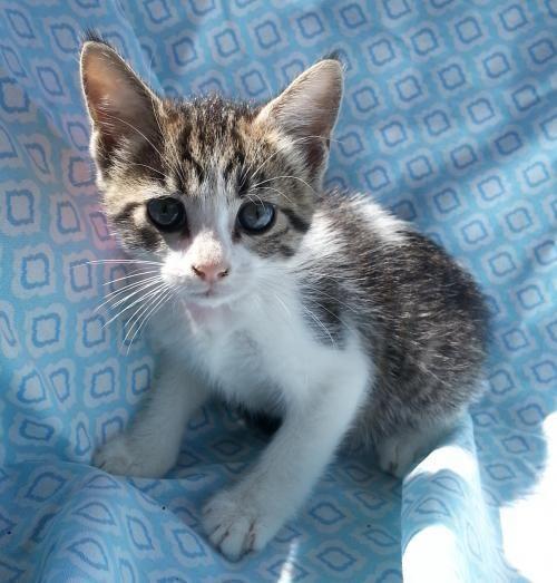 Meet Summer 22486 A Petfinder Adoptable Domestic Short Hair Cat