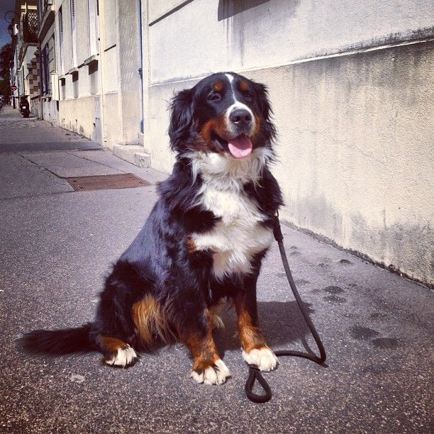 "@lazzydigger's photo: ""Puppyluv #bernes #dog #love"""