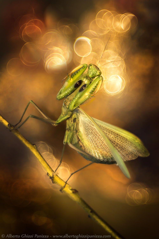 Mantis' dream - Praying mantis with autumn background