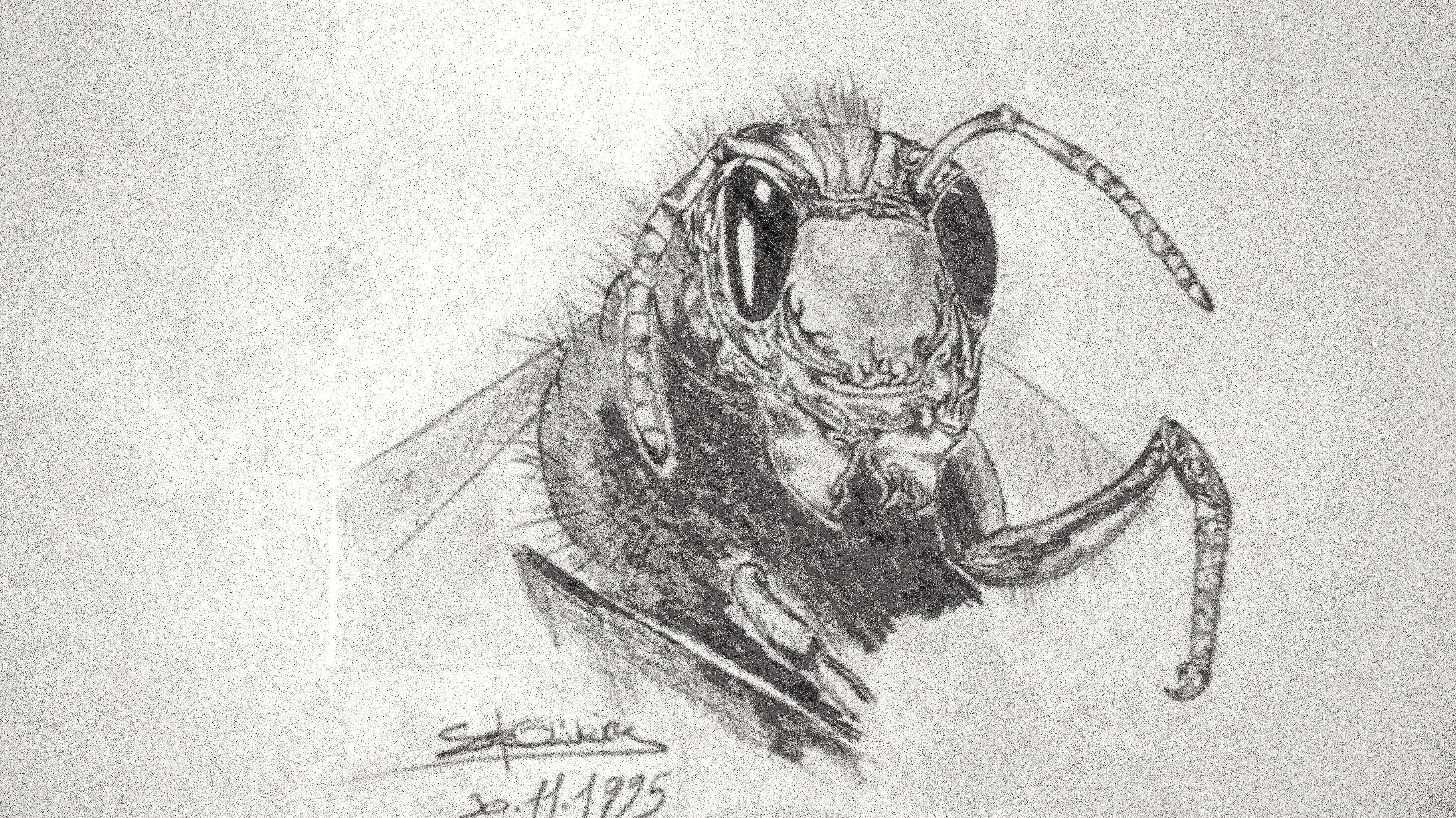 Wasp pencil drawing on a a4 paper 1995 wasp insect drawing