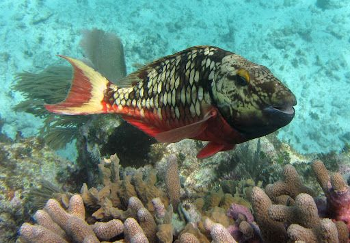 #Stoplight #Parrotfish...