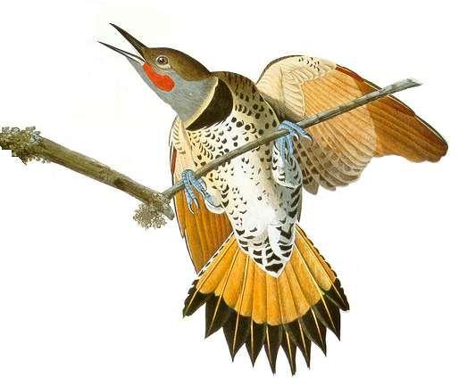 Alabama State Bird The Northern Flicker Also Known As The Yellowhammer Northern Flicker State Birds Bird
