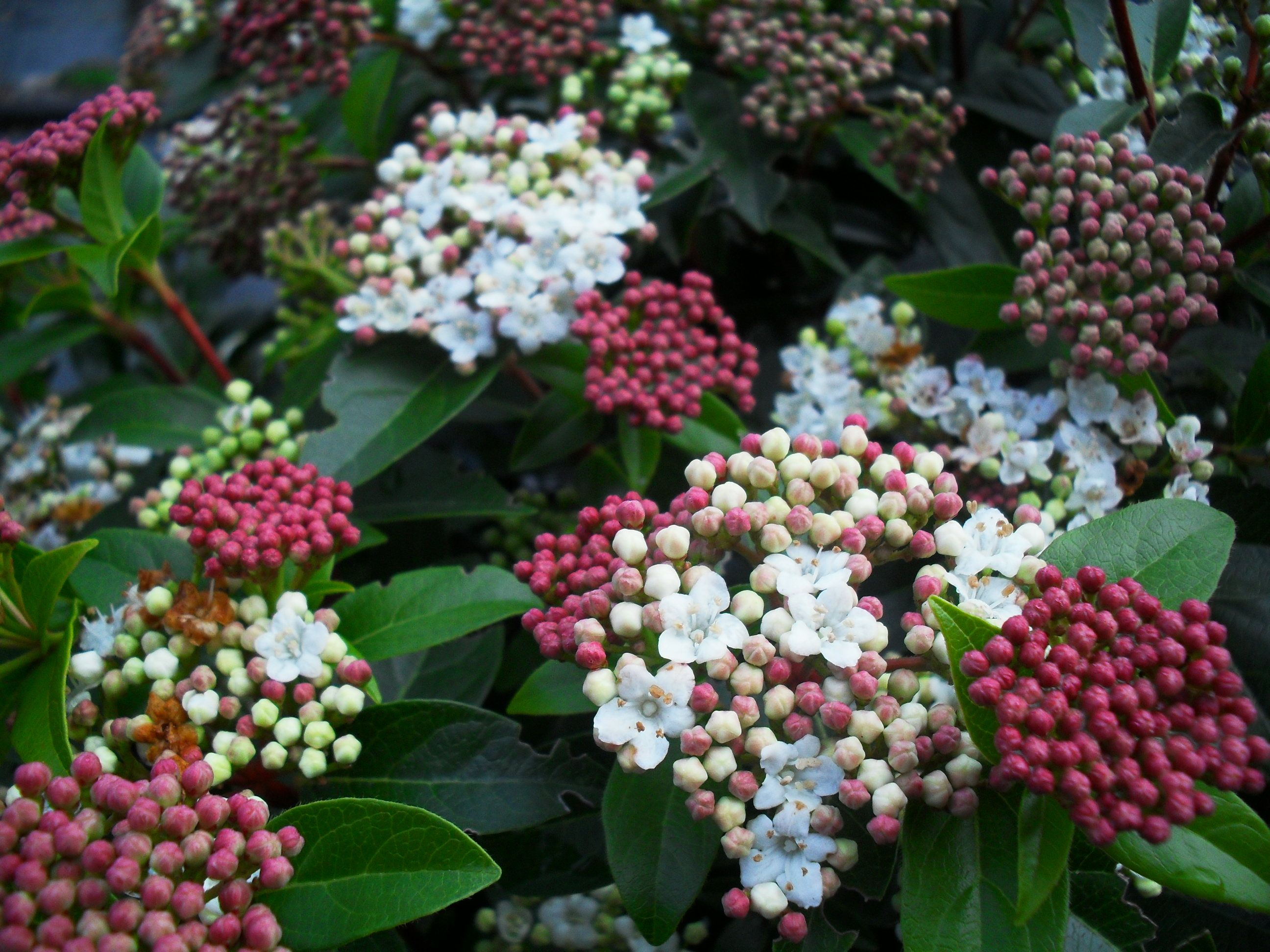 viburnum tinus 39 eve price 39 evergreen shrub flattened heads of pinkish white flowers opening. Black Bedroom Furniture Sets. Home Design Ideas