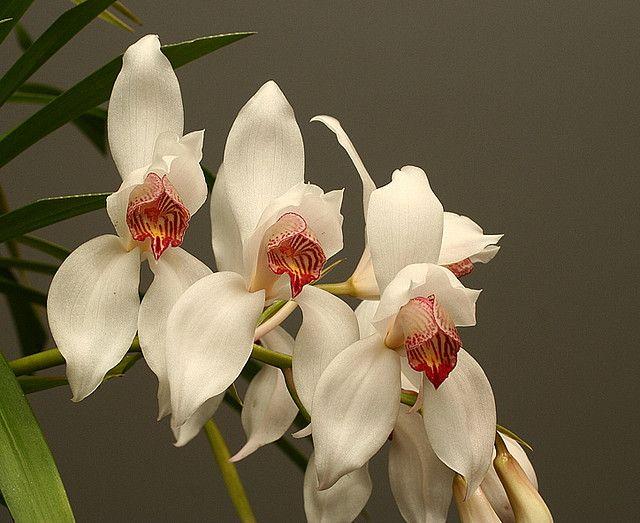Cymbidium Erythrostylum Magnificum Orchids Beautiful Orchids Cymbidium Orchids