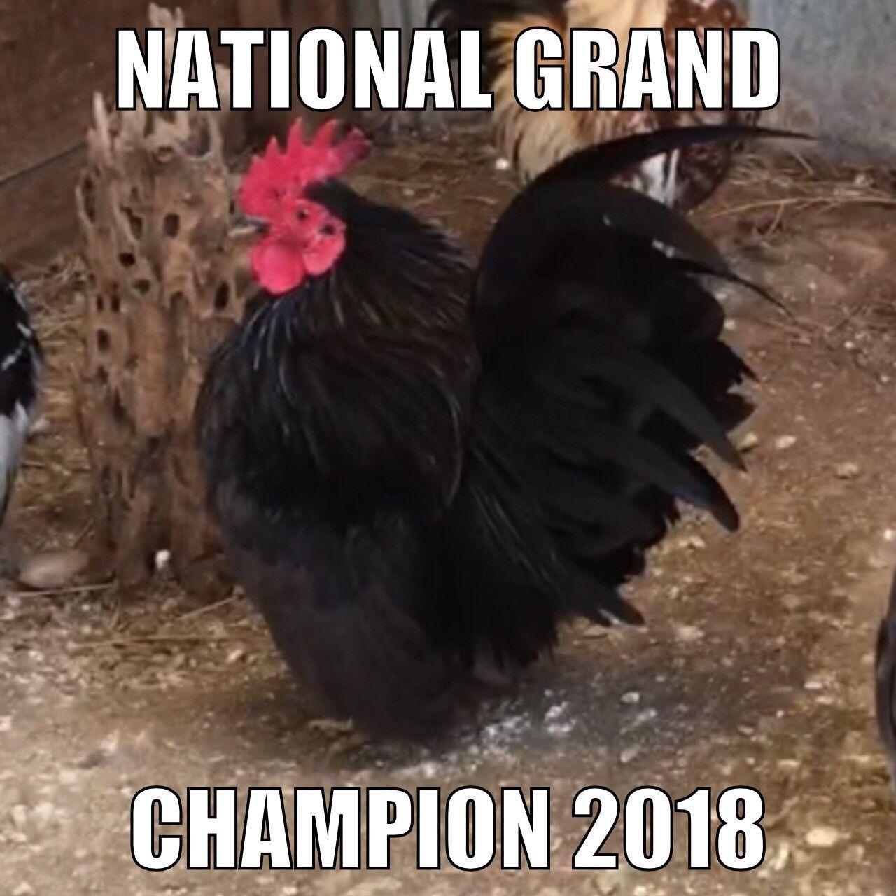 63 Serama Hatching Eggs Smallest Chicken NPIP Champion