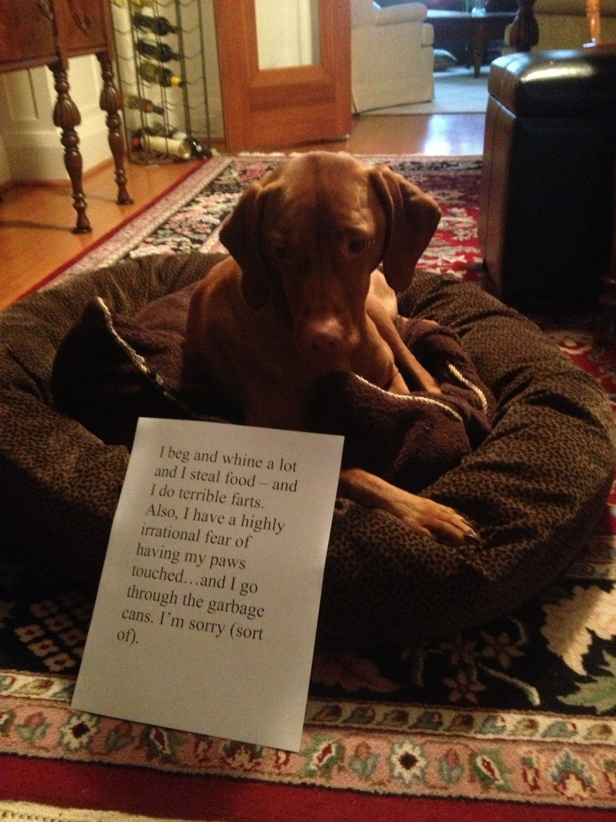 Rocket Dog Shaming Funny Vizsla Dogs Vizsla