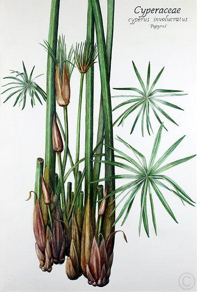 Papyrus Watercolour By Ruth De Monchaux In 2019 Plant