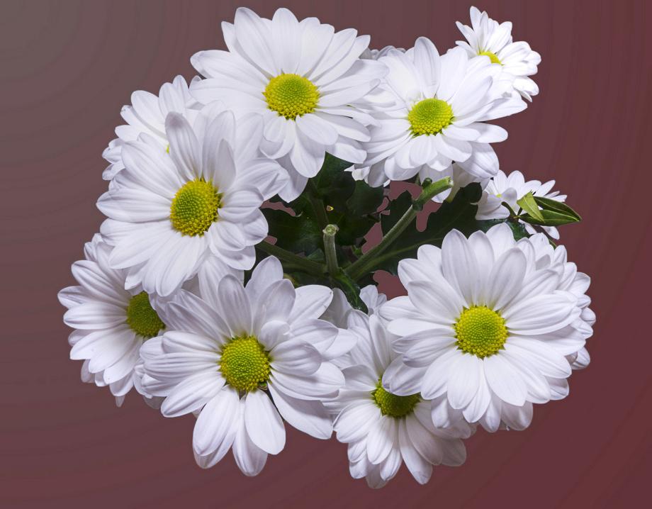 White chrysanthemum flower image zastavki chrysanthemum white chrysanthemum flower image zastavki mightylinksfo