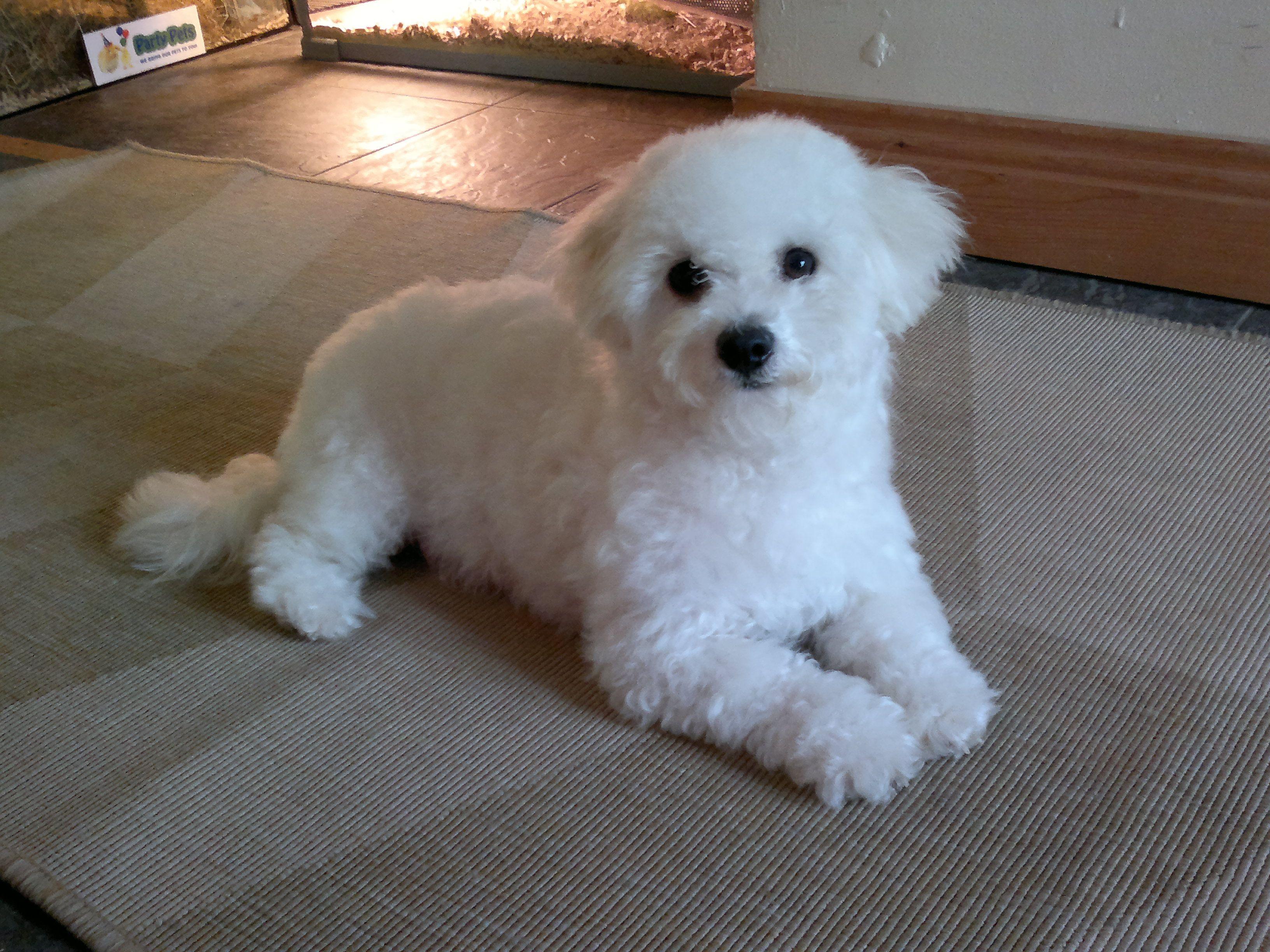 Princess Molly Bichon Frise Bichon Frise Puppy Bichon Frise Bichon Frise Dogs