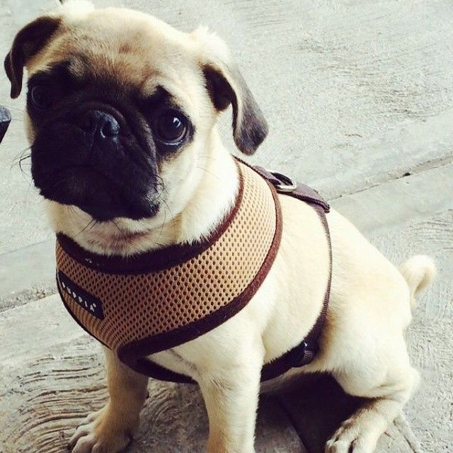 Puppia Beige Harness At Www Ilovepugs Co Uk Post Worldwide Cute