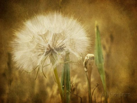Dandelion Seed Fotoprint