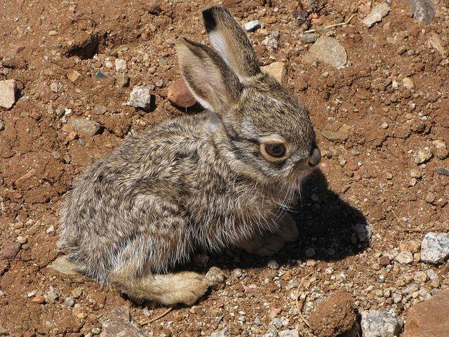 Baby Jack Rabbits