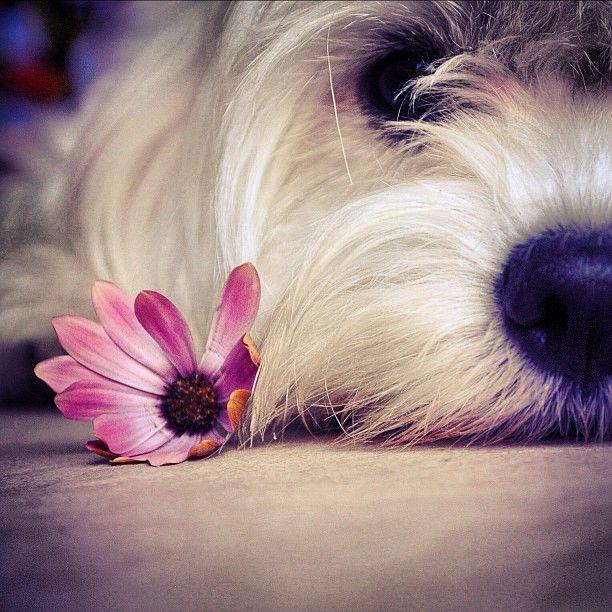 #dog#dogs#puppymaltese#maltes#puppylove#doggy#doggie#pets#dogstagram#photohunt_it #ig2us #igtube #instanature #italianeography #insta_pick_blossom #flowers #fleur #foto_italiane #friendsoftheworld #fillsmyheartwithhappiness #tagstagram - @puppola- #webstagram
