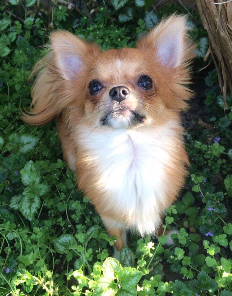 Murphy Chihuahua Welpen Chihuahua Hunde