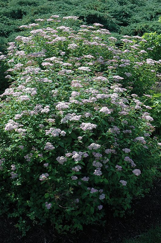 bachmans garden center. Find Tor Spirea (Spiraea Betulifolia \u0027Tor\u0027) In Sioux Falls Brandon Dell Rapids Luverne Brookings South Dakota SD At Landscape Garden Centers (Birchleaf Bachmans Center T
