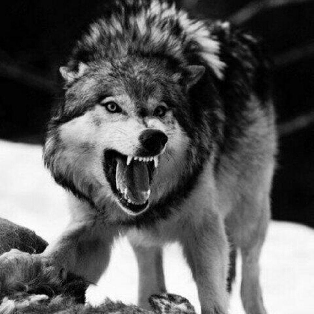 Diy Diamond Painting Animals Snow Wolf 5d Crafts Full