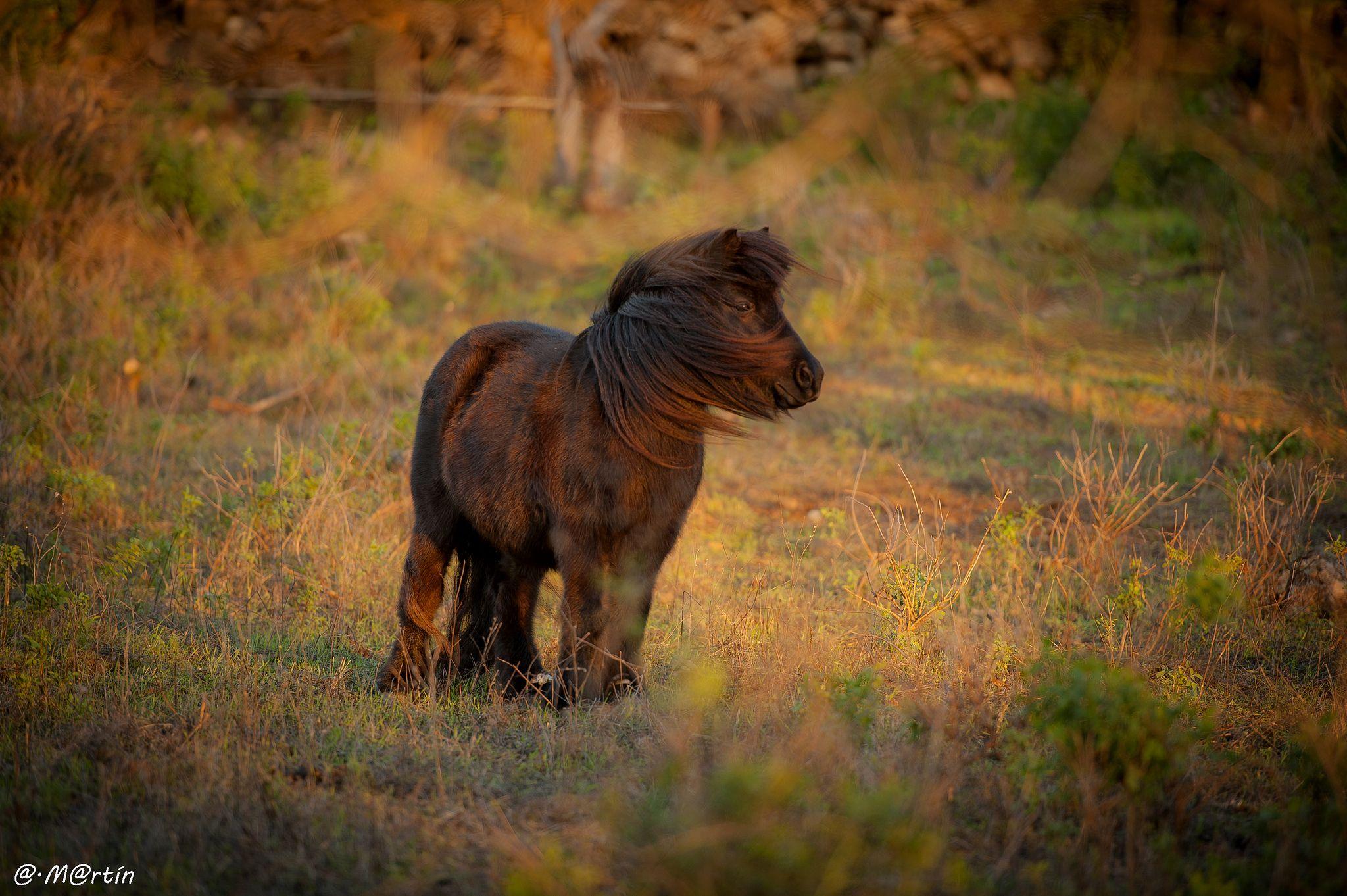 """Un pequeno """"mini pony"""", solitario y reflexivo, en los campos de #GranCanaria - Foto de Alexis Martin"""