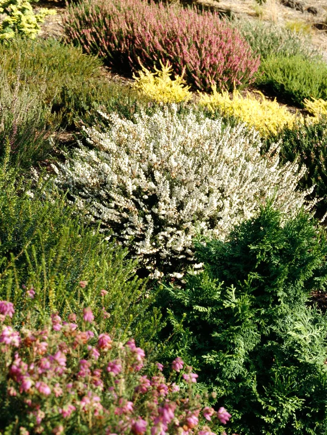 All About Growing Heathers And Heaths In The Garden Heather Gardens Heath Plant Heather Plant