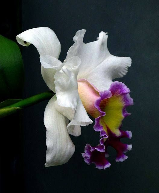 Cattleya Orchid The National Flower Of Colombia Unusual Flowers Beautiful Orchids Orchids