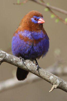 Purple grenadier finch