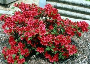 Azaleas Evergreen And Deciduous Azaleas Dwarf Azaleas Growing Flowers