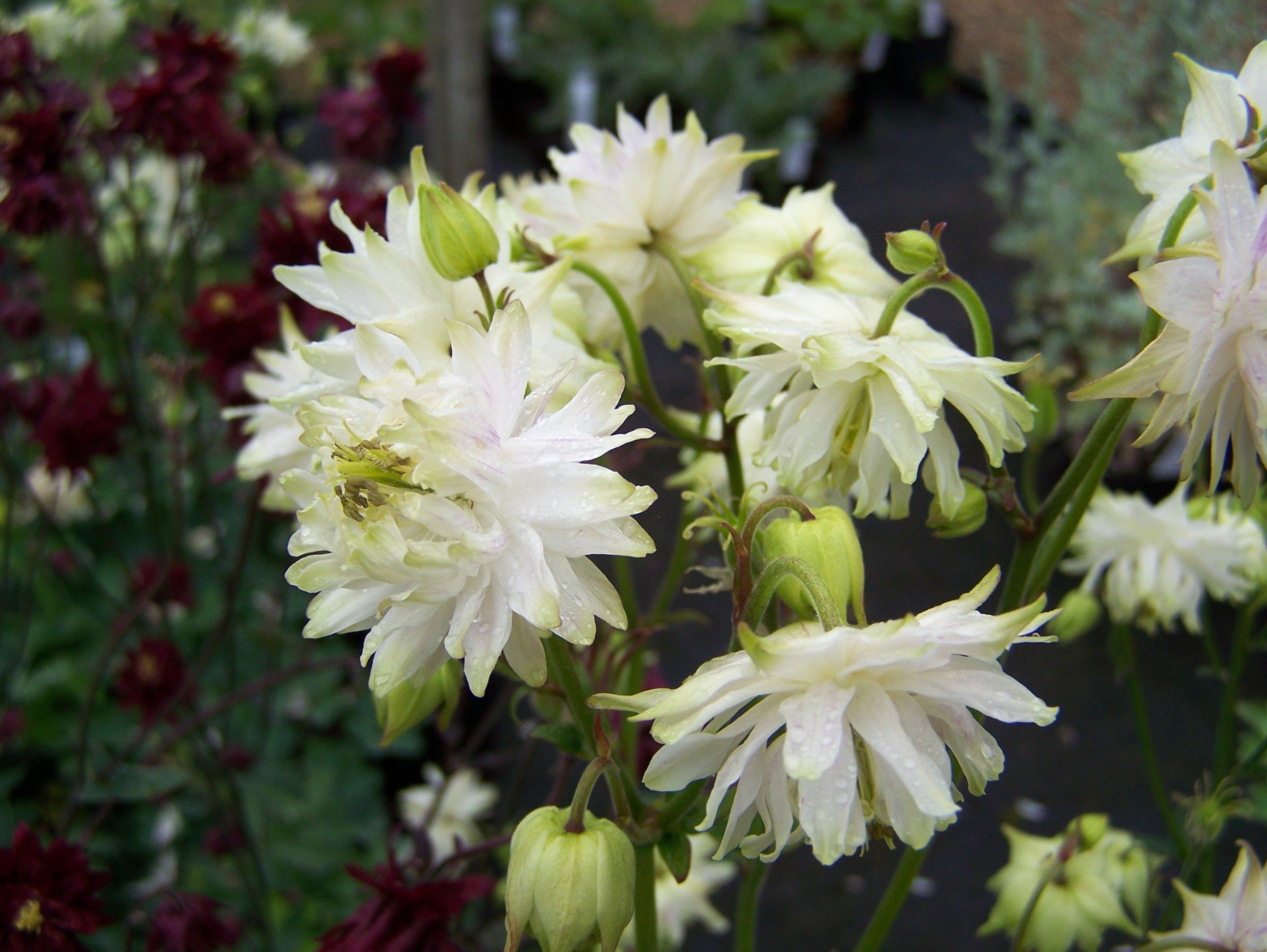 Aquilegia vulgaris white barlow our garden pinterest white aquilegia vulgaris white barlow white flowers dhlflorist Image collections