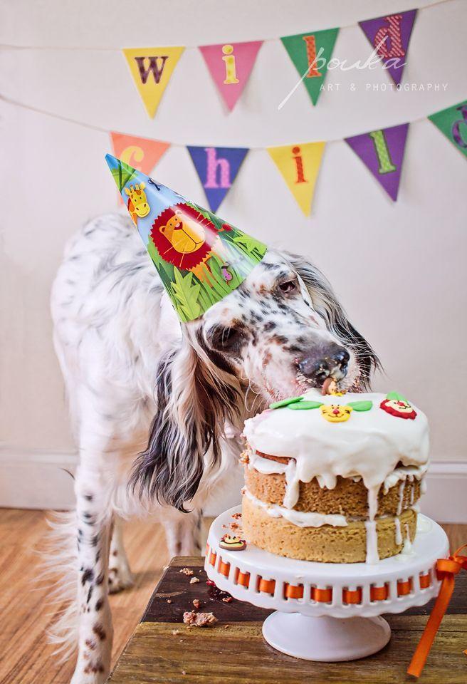 English Setter Puppy 1st Birthday Cake Smash Dog Cake Smash Pouka