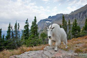1874_1mountain_goat02100d