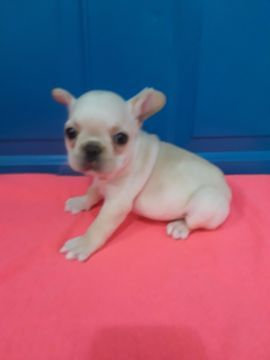 French Bulldog Puppy For Sale In Revere Ma Adn 51416 On