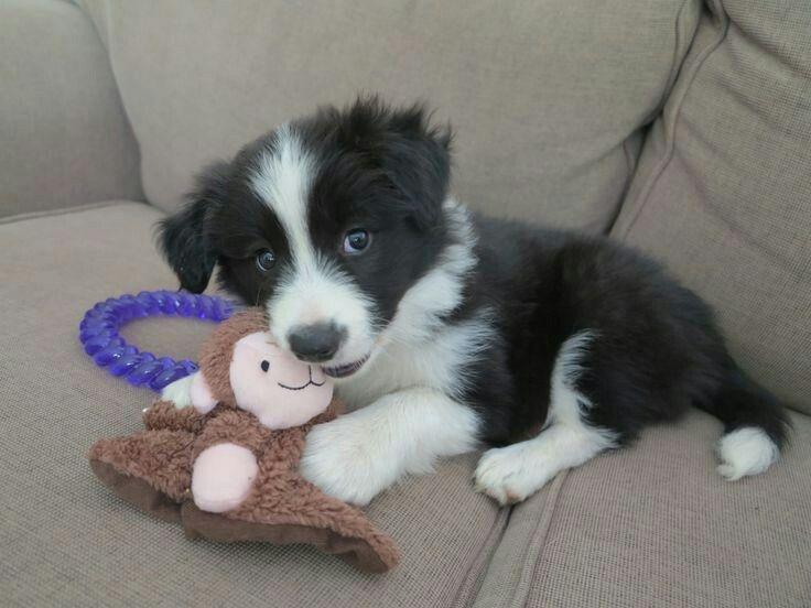 Border Collie Puppy Collie Puppies Puppy Adoption Border