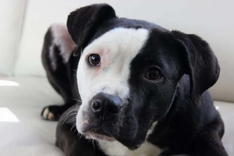Adopt Eightball On Pitbull Terrier Doggy American Bulldog Mix