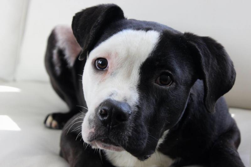 Adopt Eightball On Pitbull Terrier Doggy American Bulldog Mix