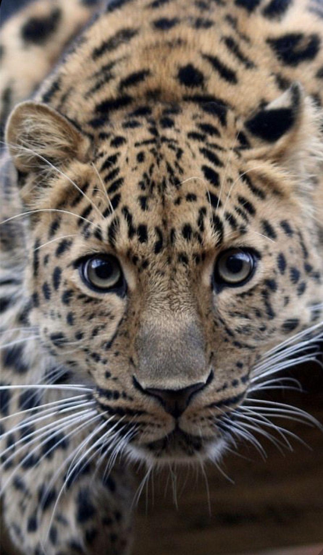 Animal Kingdom In 2020 Jaguar Animal Animals Beautiful Wild Cats