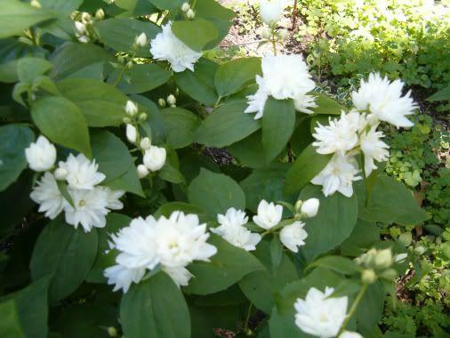 Philadelphus Mockorange Never Bloomed