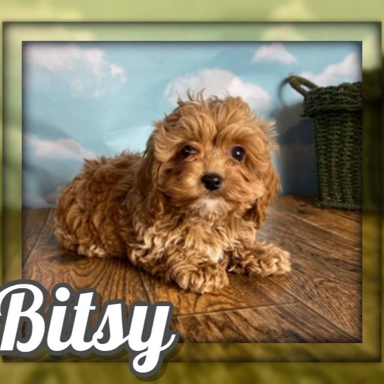 Hi There I M Bitsy And I M The Sweetest Little Female Cockapoo Puppy There Ever Was I Was Born December 5 2019 I Love Pl In 2020 Cockapoo Puppies