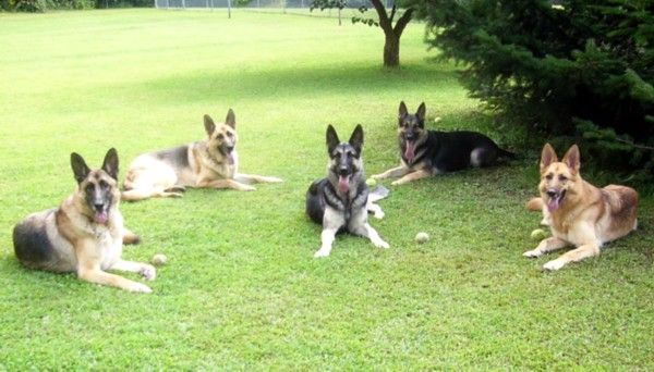 German Shepherd Rescue Of Central New York I Like The One On The