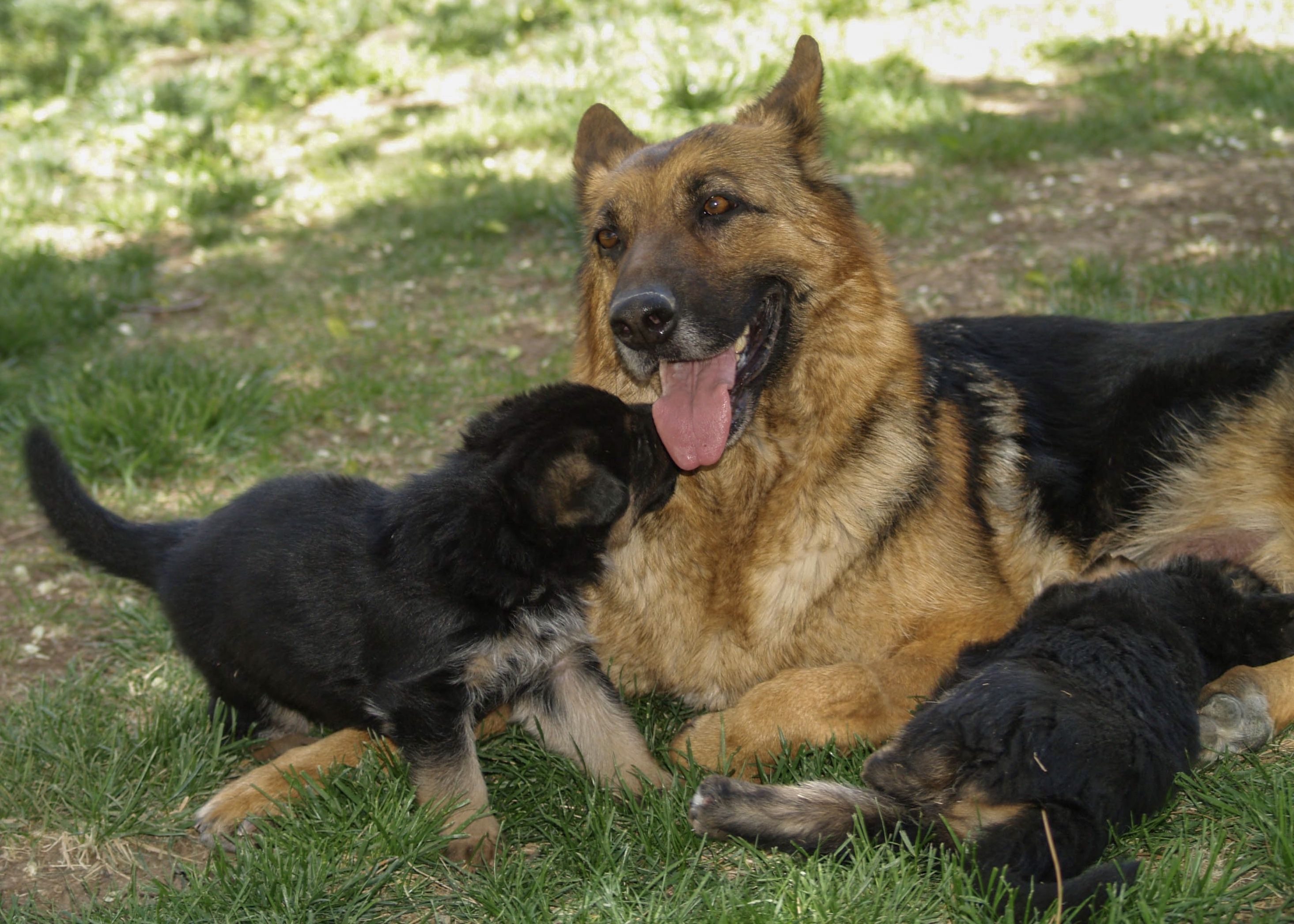 Pin On German Shepherd Puppies