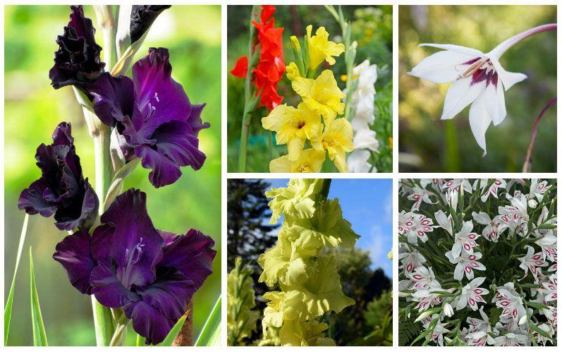 The Different Types Of Gladiolus Plants Flower Pot Design Gladiolus Plants