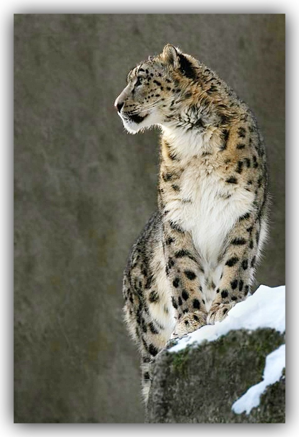 Clouded Leopard   Panthère des neiges, Chats sauvages, Animaux
