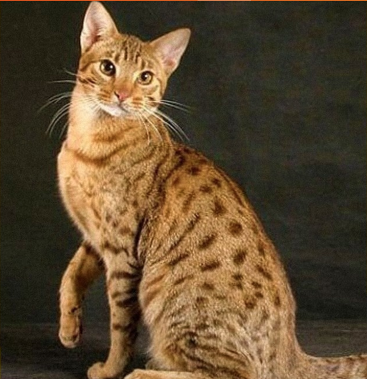 The Serengeti Is A Breed Of Domestic Cat First Developed By Crossing A Bengal Domestic And Wild Hybrid And An Oriental S Cats Norwegian Forest Cat Rare Cats