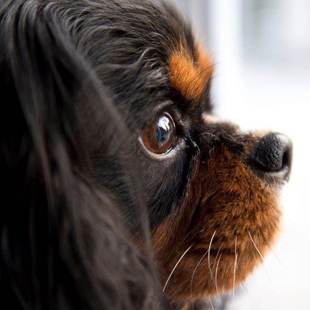 #hund #cavalierkingcharlesspaniel  #dog  #cavalie #sweetdog
