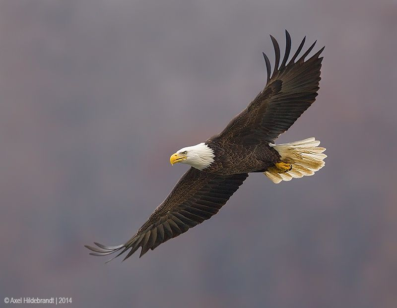 Photo Bald Eagle by Axel Hildebrandt on 500px