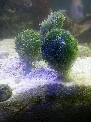 Mermaids Shaving Brush Marine Macro Algae Plant Reef Refugium Coral Frag Plug Plants Shaving Brush Saltwater