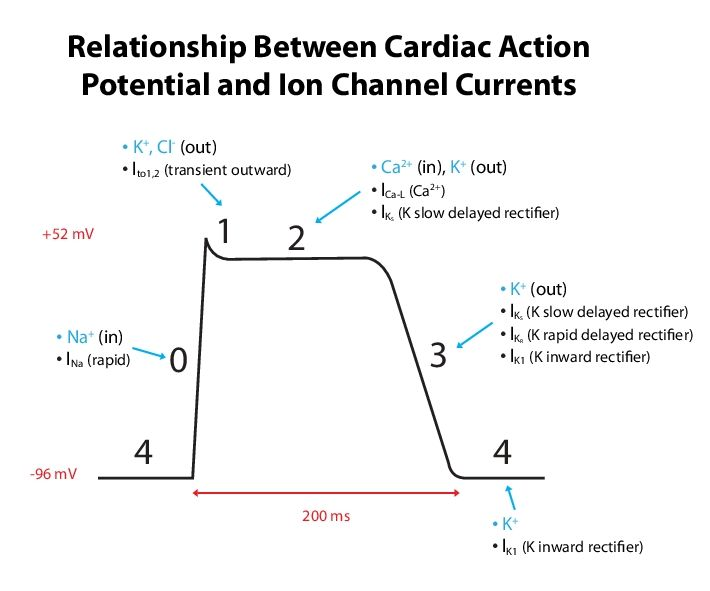 conduction system and relationship to ecg test