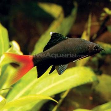 Redtail Shark Tropical Fish For Freshwater Aquariums Freshwater Aquarium Sharks Freshwater Sharks Freshwater Aquarium