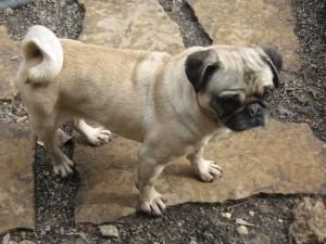 Pickles Is An Adoptable Pug Dog In Minneapolis Mn Pickles Is A