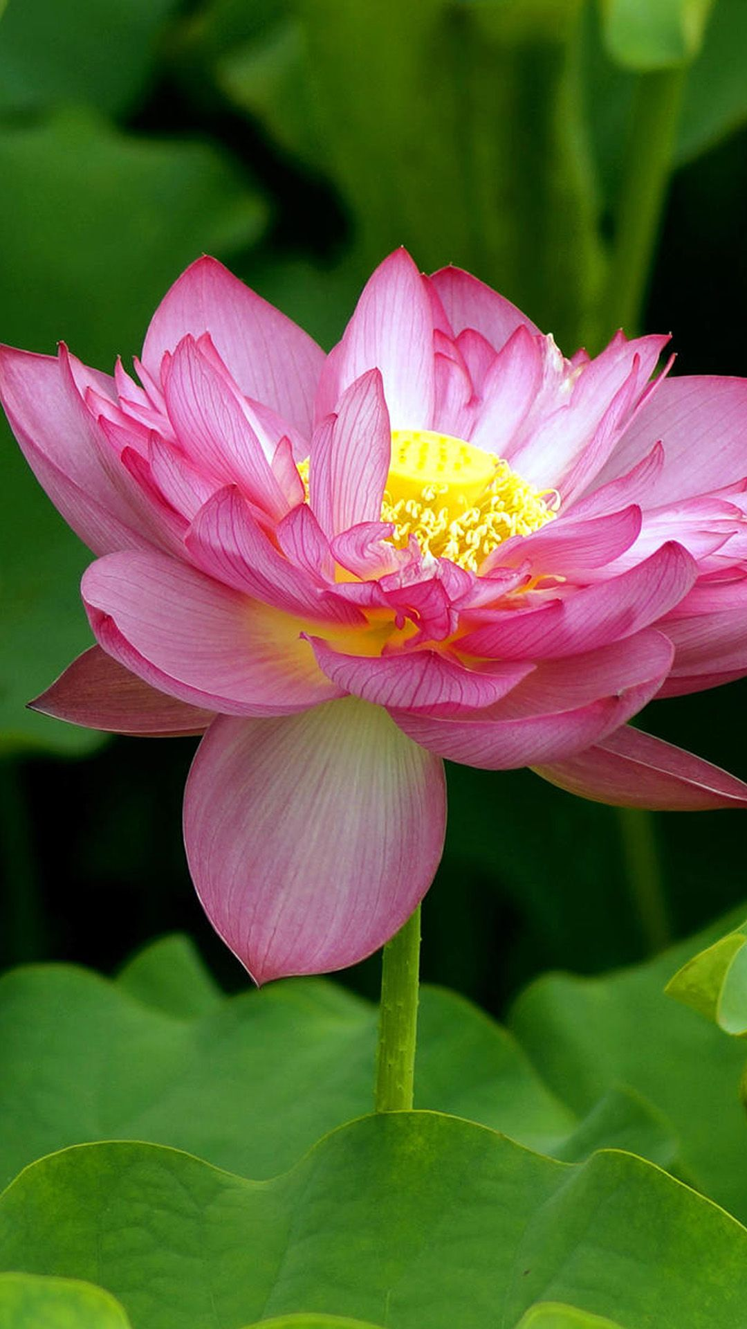 The Pink Lotus 25 Close Up Flowers Photography Iphone Wallpapers
